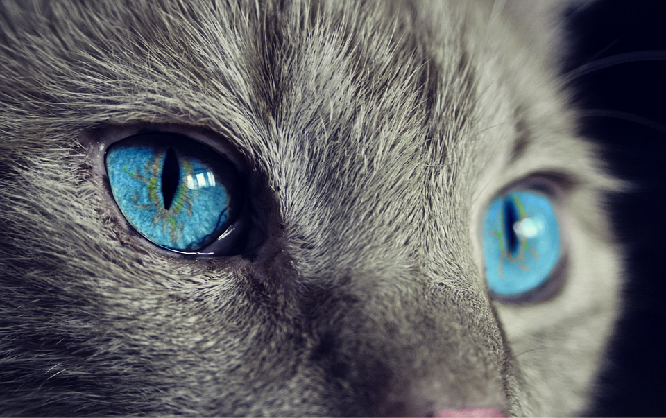 blue eyes cat.png